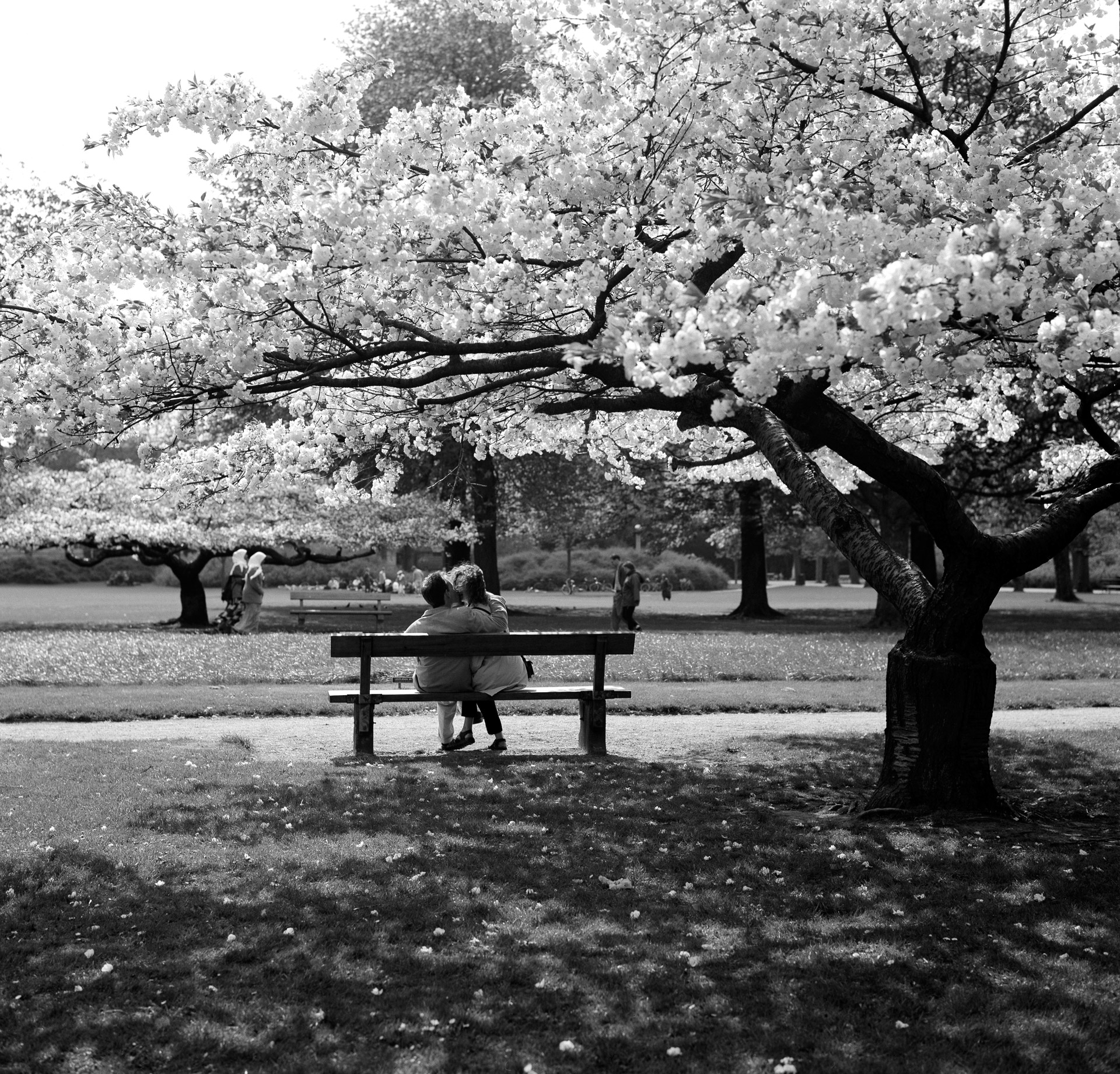 A couple on a bench kissing under flowering Cherry trees in Kgs. Have in Copenhagen