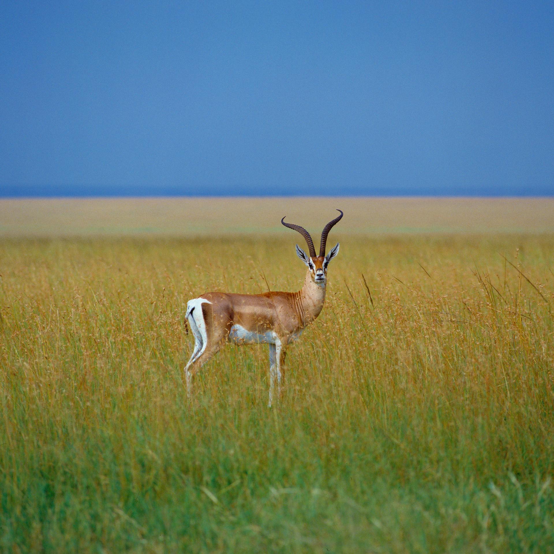 Grant's gazelle in Masai Mara kenya