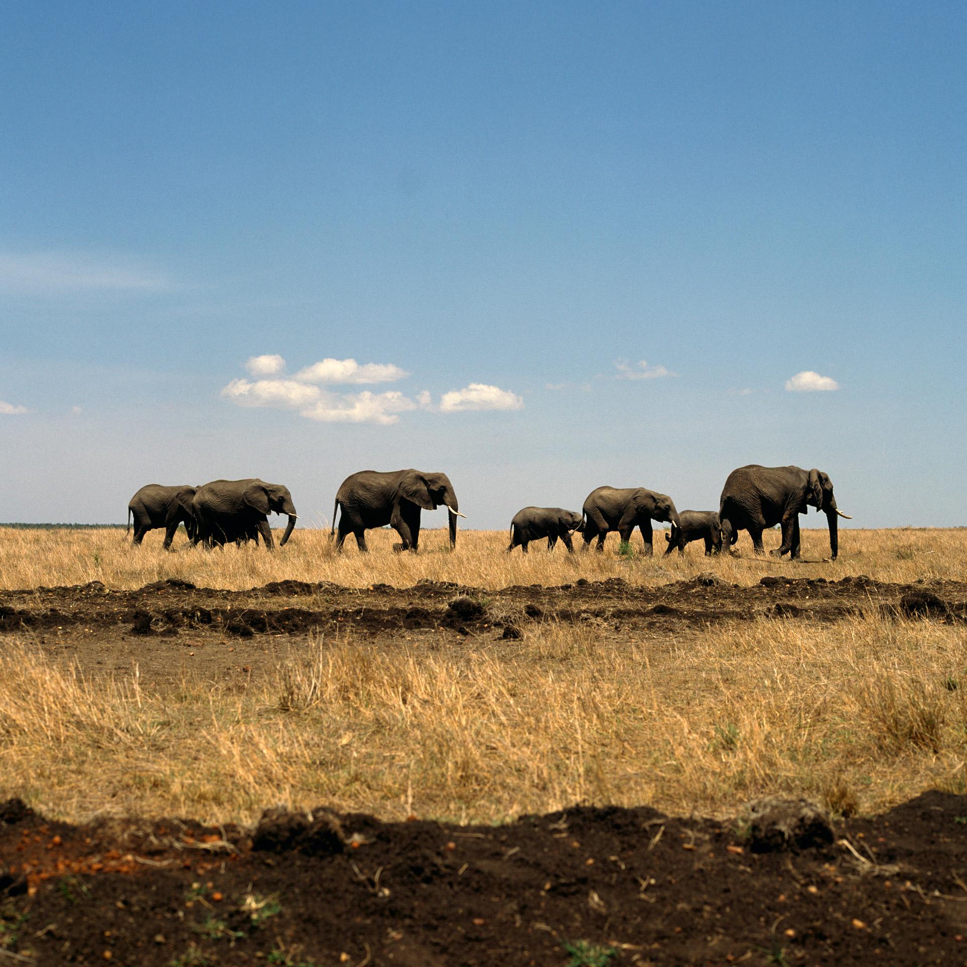 A small group of elephants in Masai Mara in Kenya
