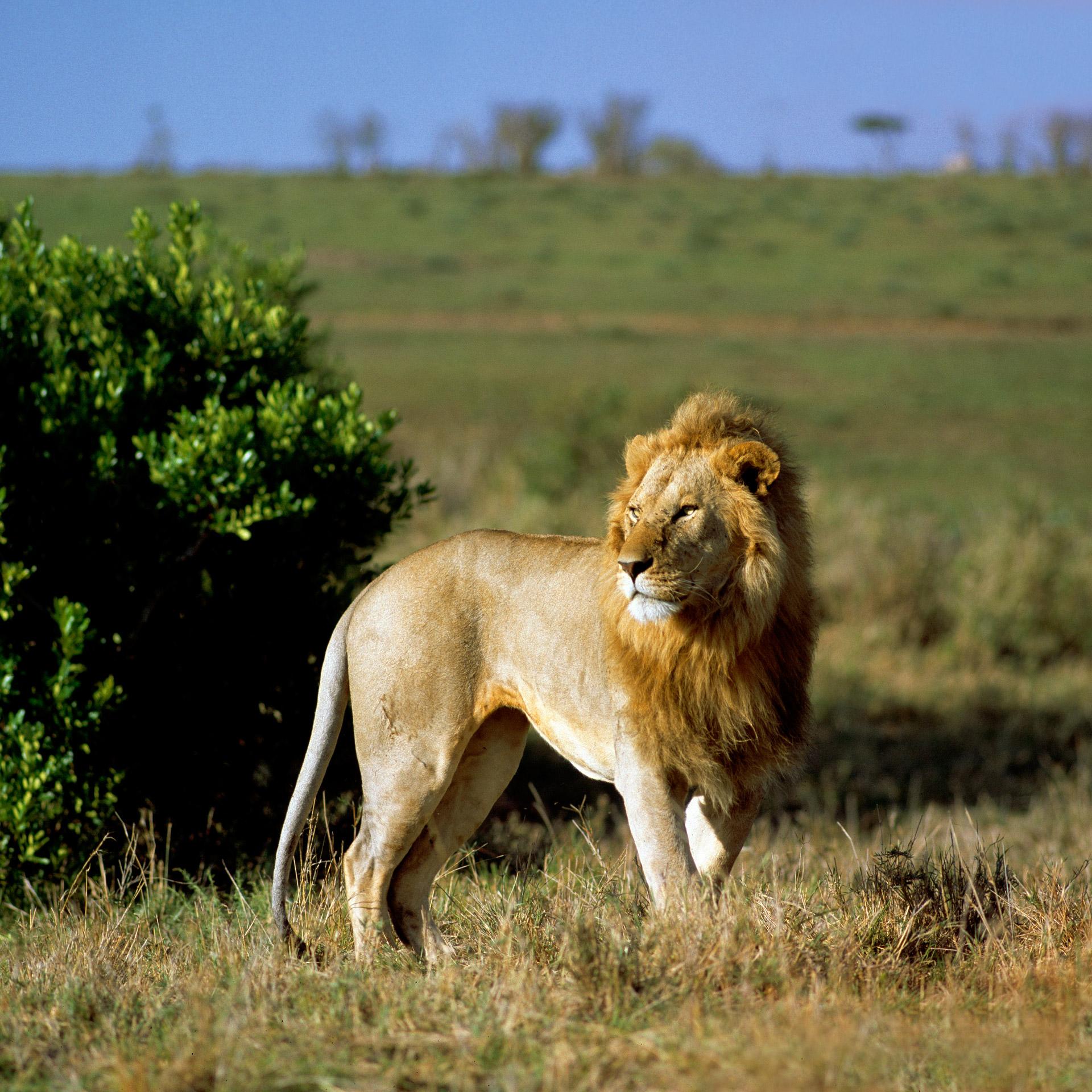 A male lion on Masai Mara in Kenya