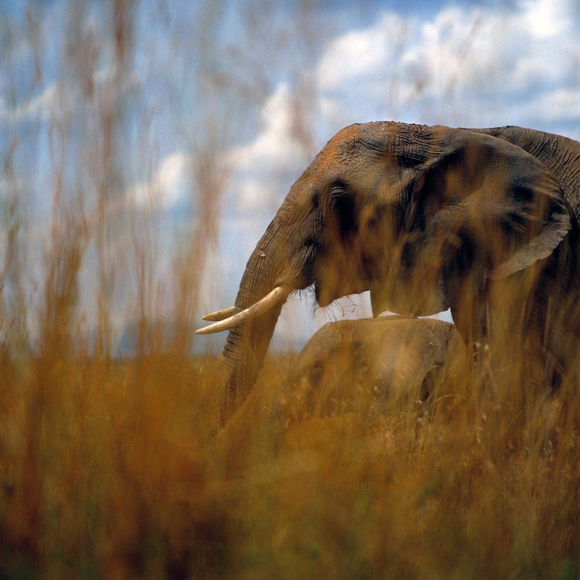 Elephants in Masai Mara Kenya