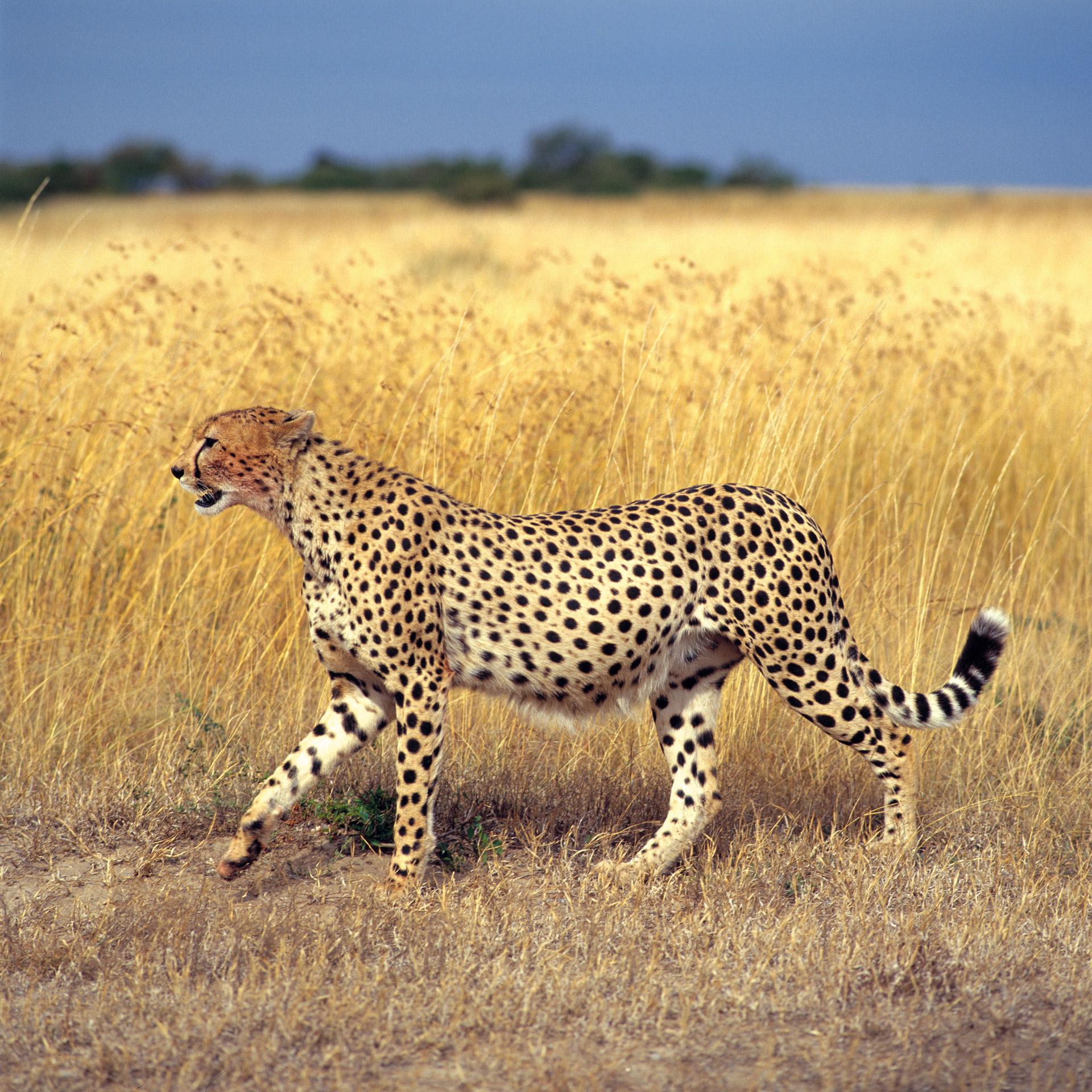 A cheetah in Masai Mara Kenya