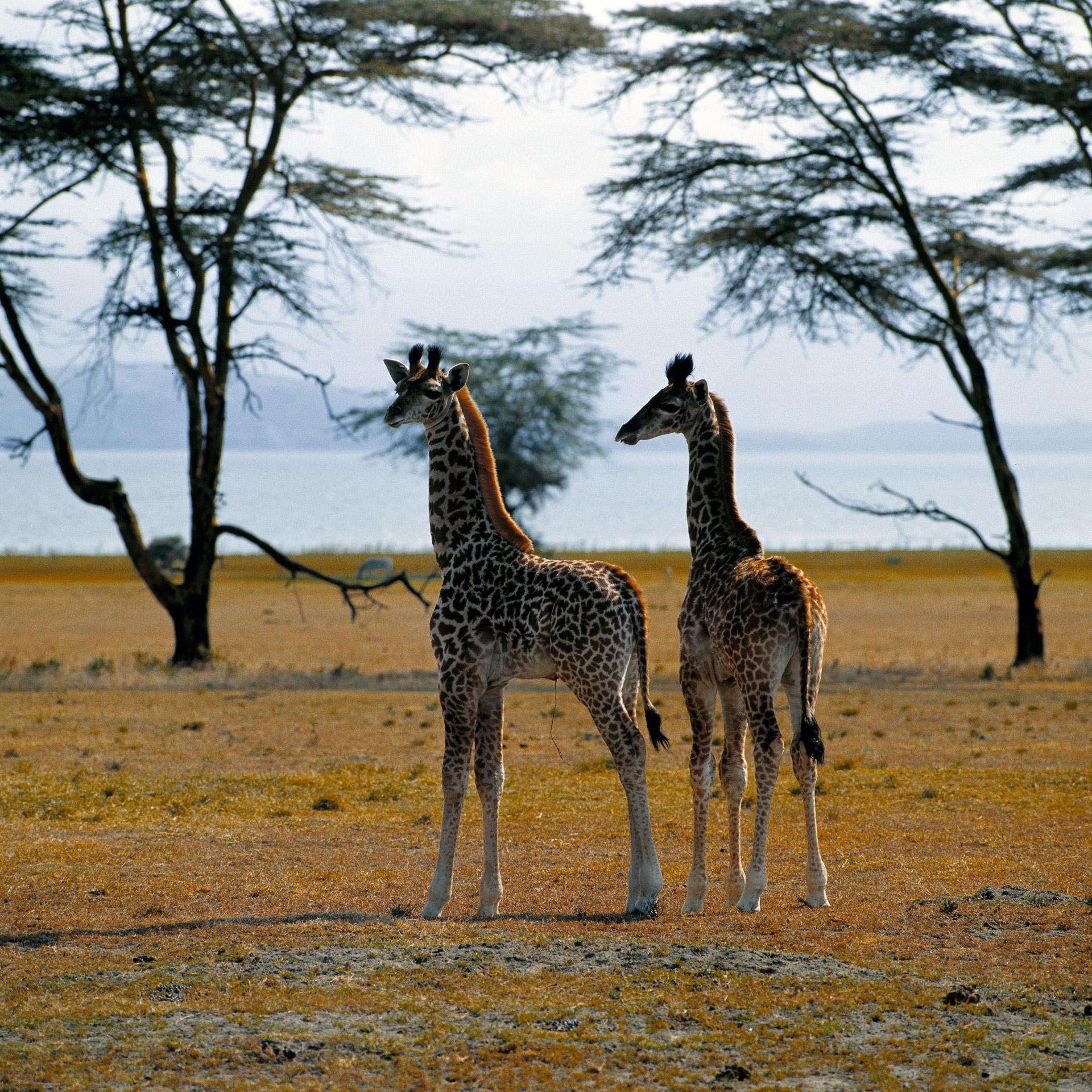 Two newly born giraffes on Crescent Island in Lake Naivasha in Kenya