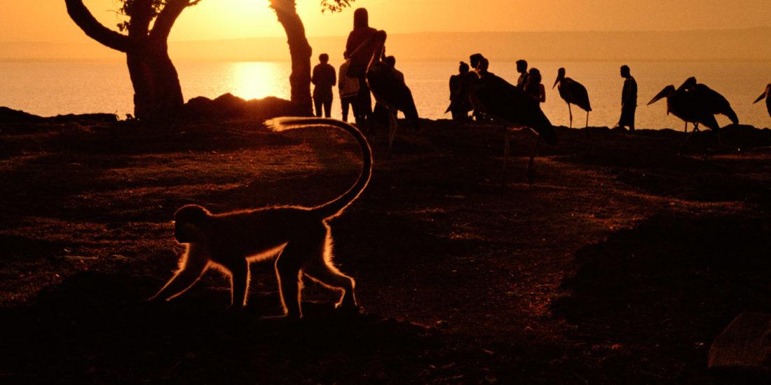 Vervet monkey and people in Amora Gedel Park