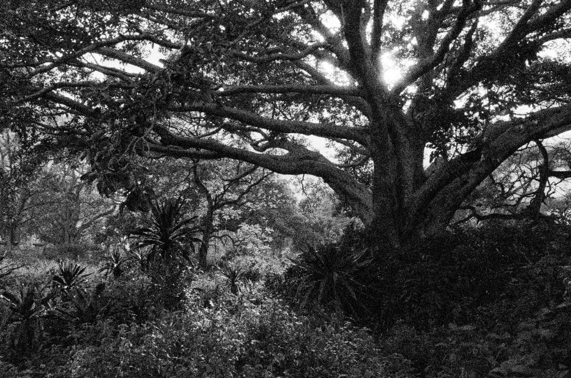 A huge fig tree by Lake Awasa in Hawassa