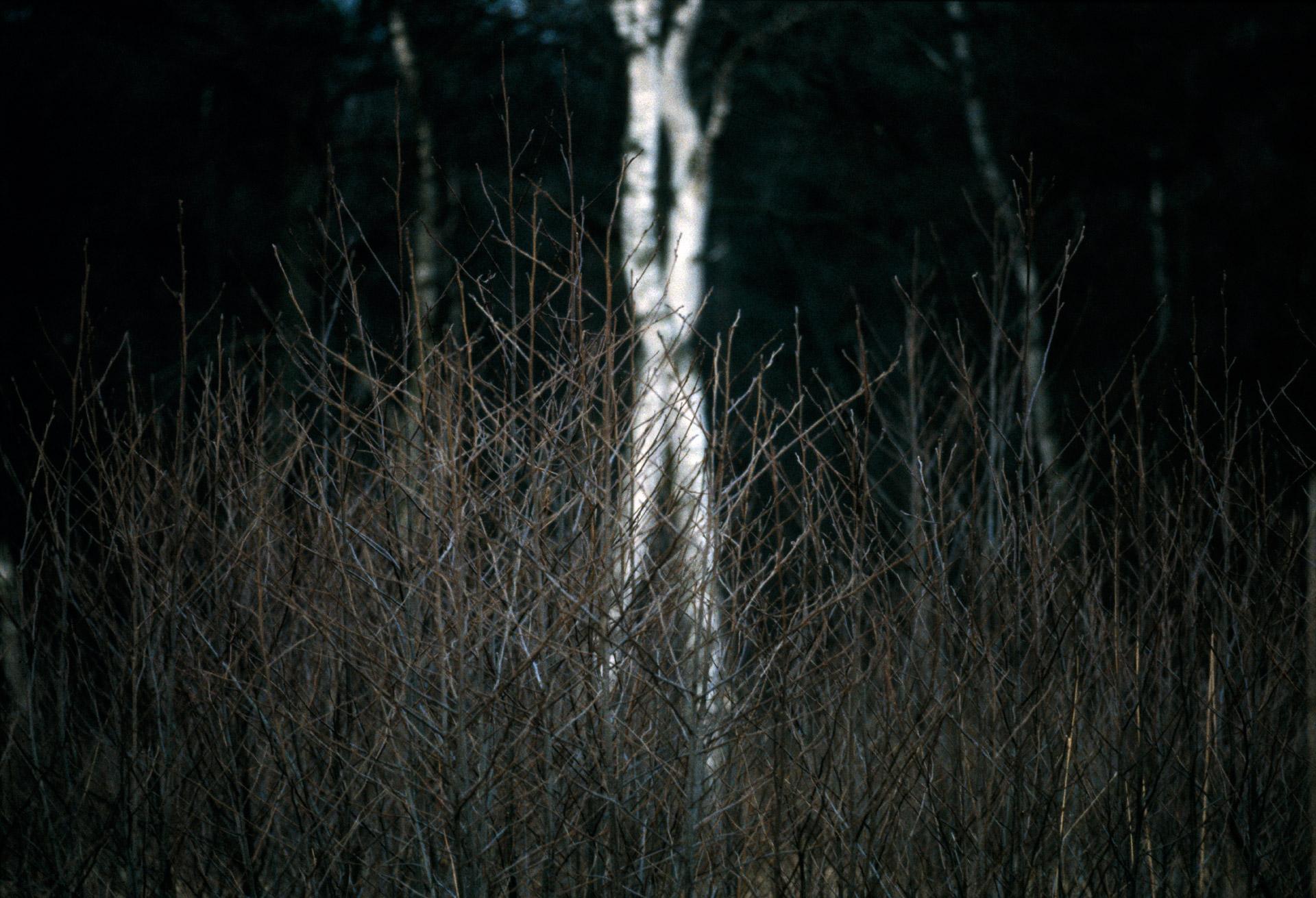 Two birch trees in Lyngby Åmose - Mølleåen