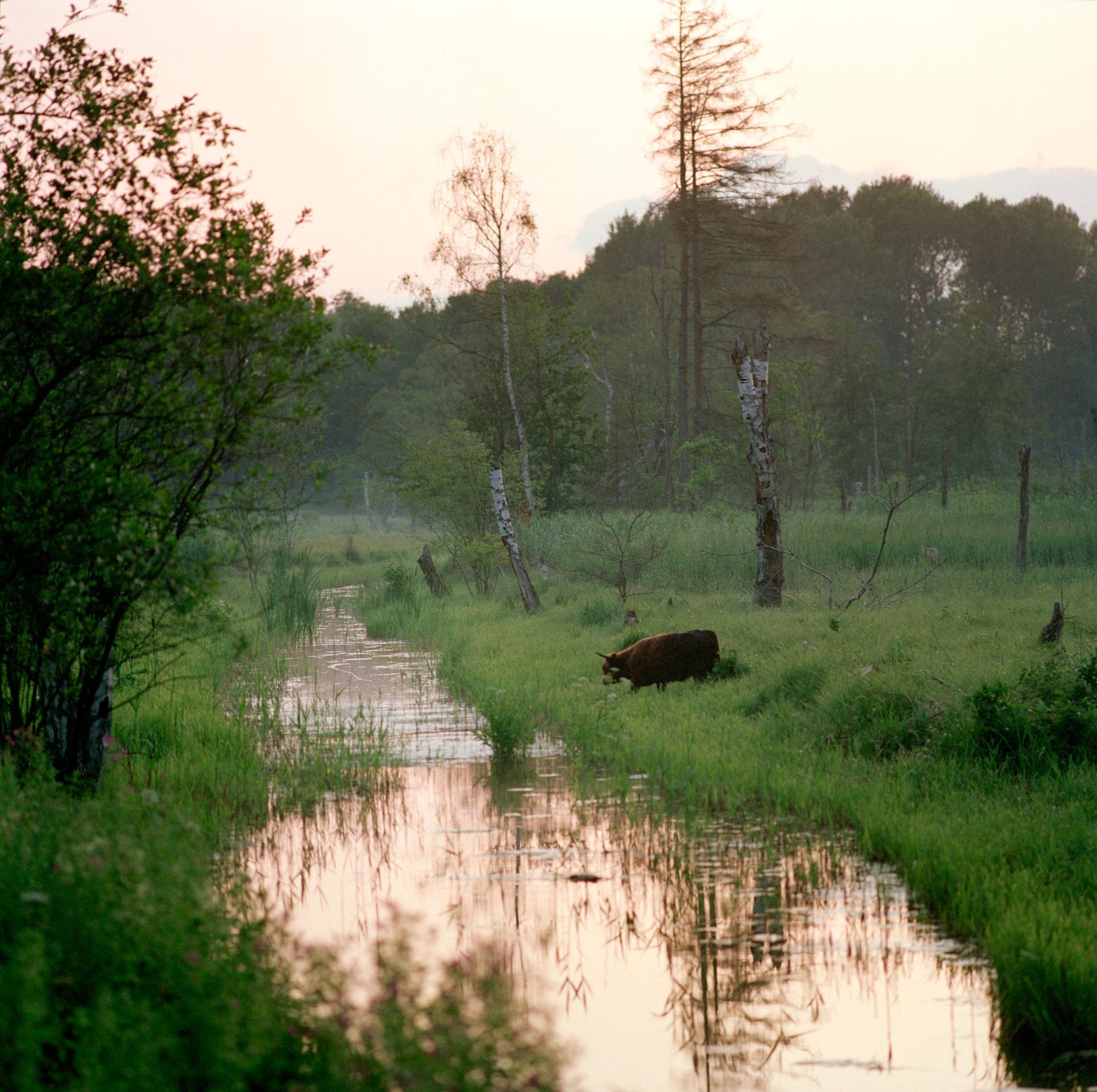 Cattle Klevad mølleåen