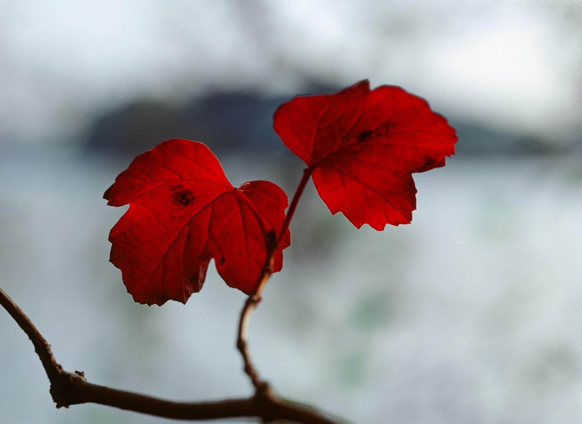Red maple leaves at Lyngby Sø at Mølleåen