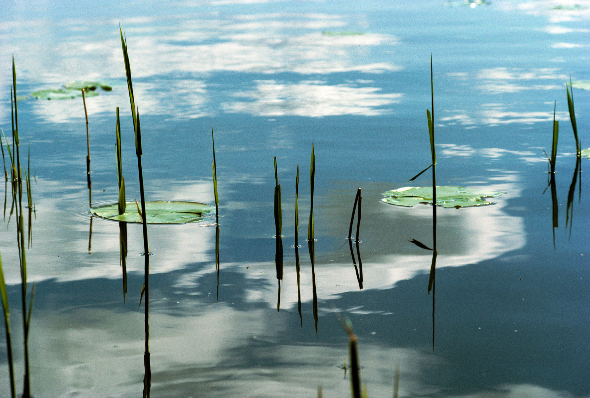 Reeds and water lilys and Lyngby Sø mirroring the sky and clouds