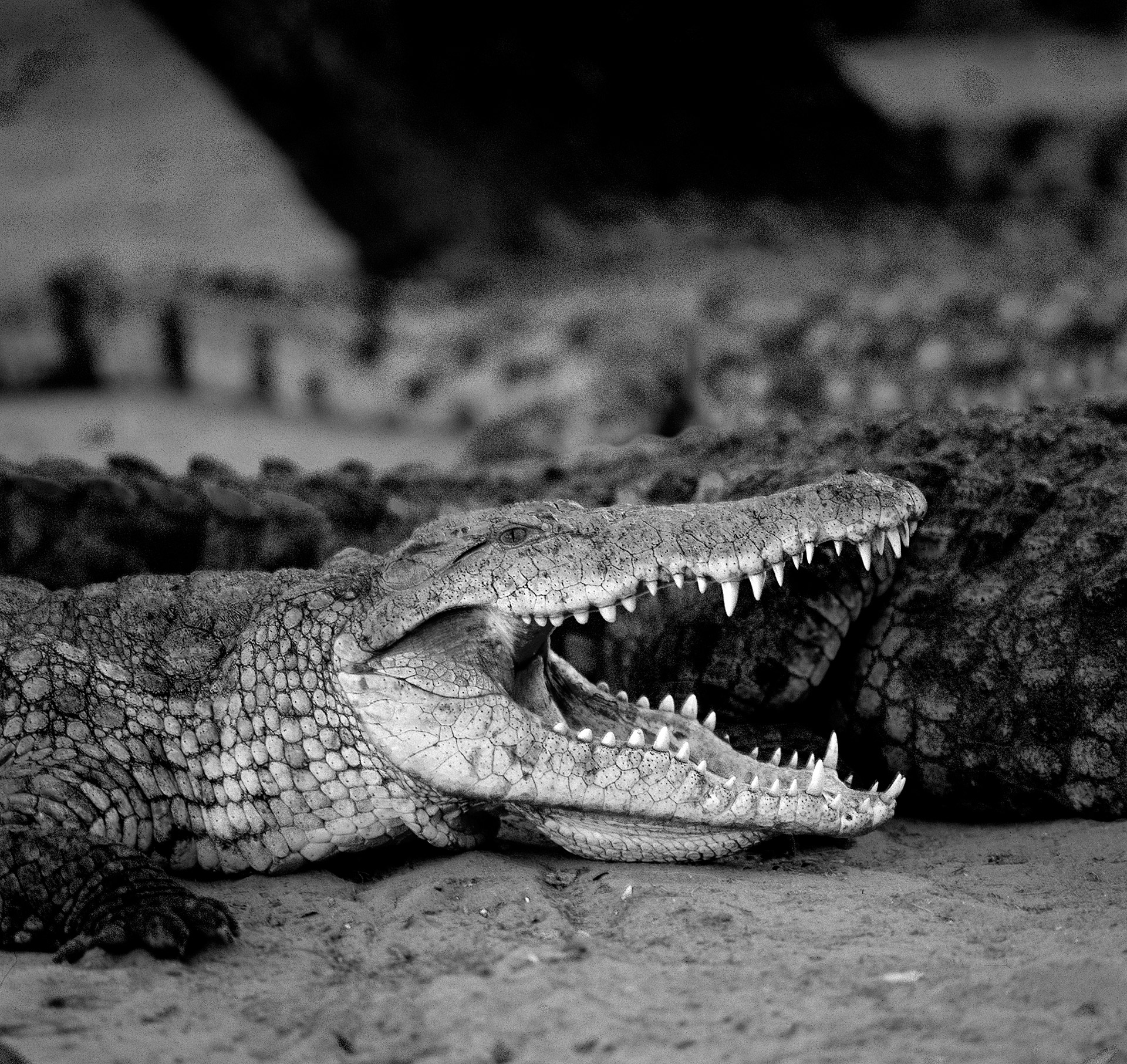 Nile crocodile in Samburu National Reserve in Northern Kenya