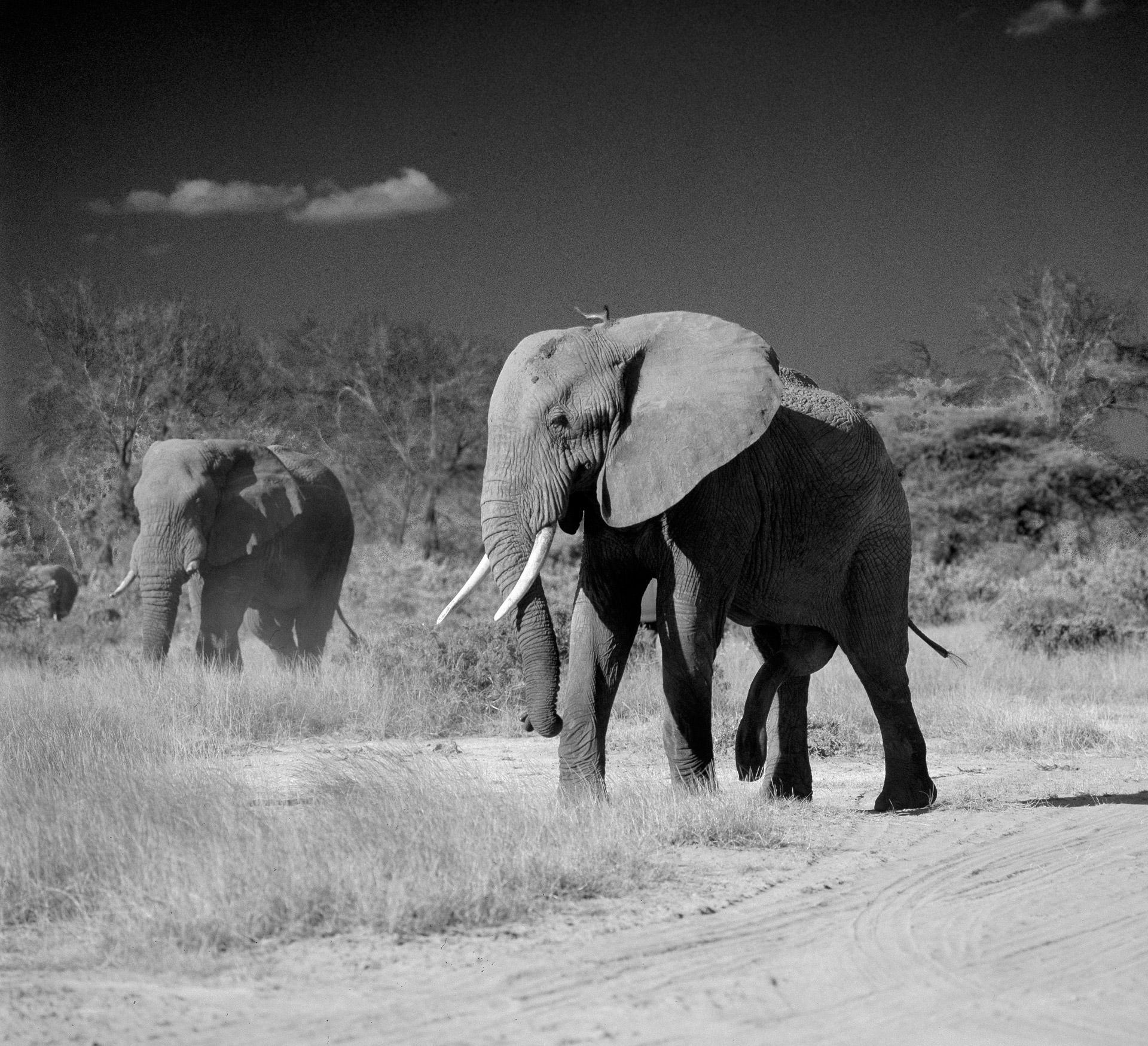 A bull elephant chasing female elephants in Samburu National Reserve in Northern Kenya