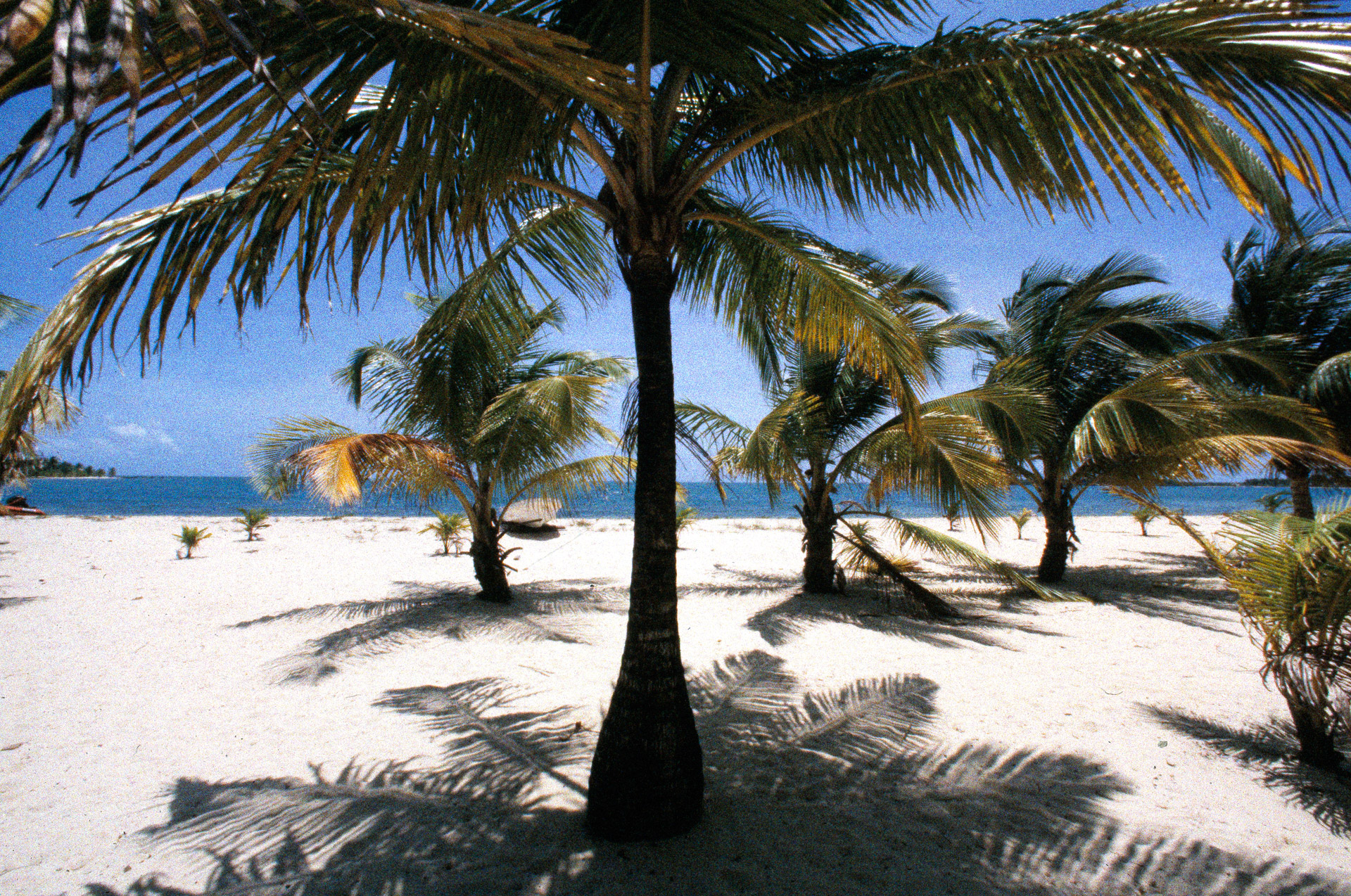 Coconut palms on the beach in Placencia, Belize