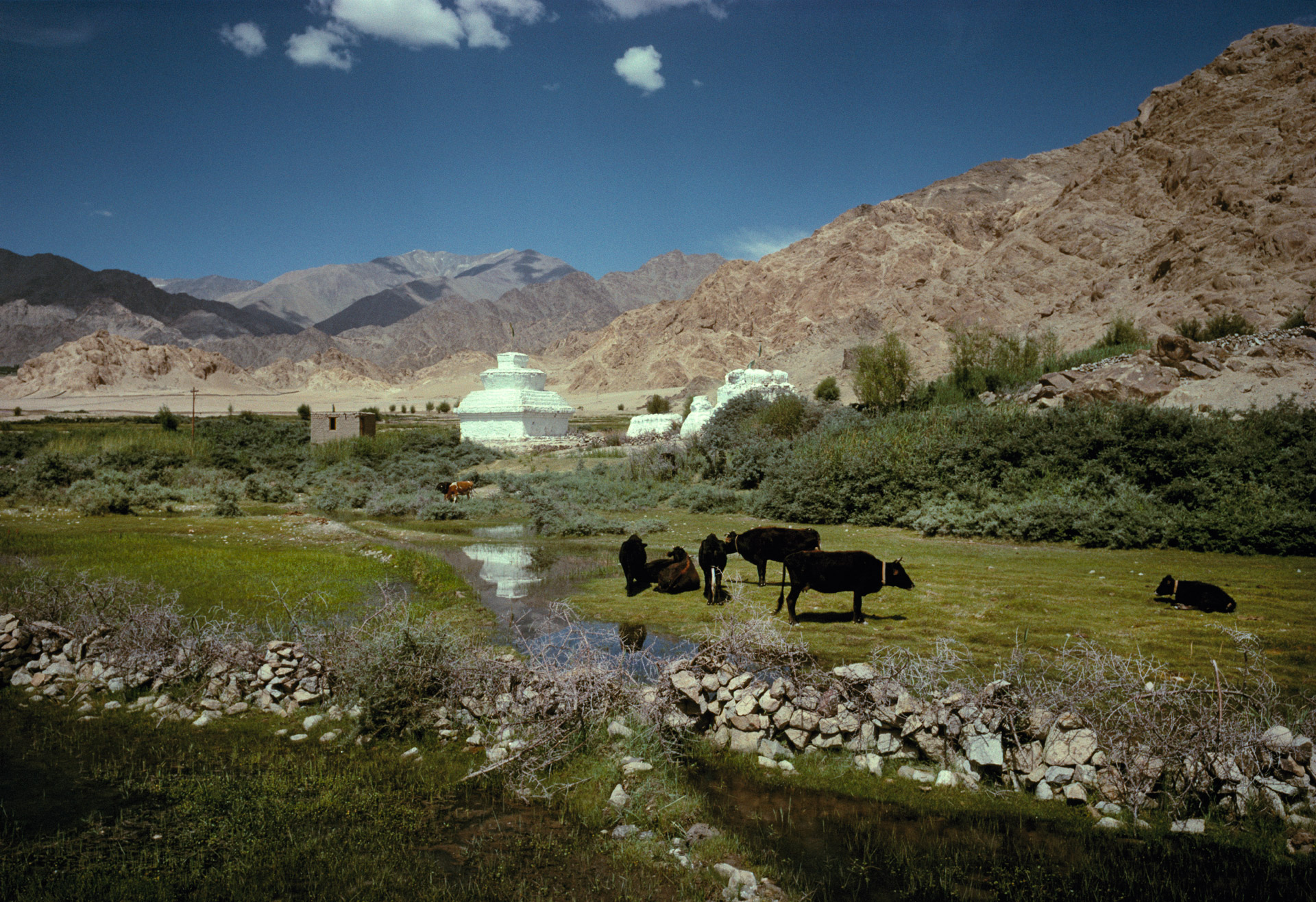 Cattle and white Stupas in a valley in Ladakh near Leh